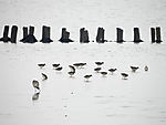 Watvögel bei Futtersuche