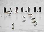 European Curlews looking for food, Numenius arquata