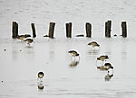 Große Brachvögel beu Futtersuche, Numenius arquata