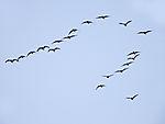 Barnacle Geese in flight, Branta leucopsis