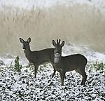 Roe Deer in winter, Capreolus capreolus