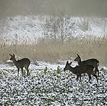 Rehe im Winter, Capreolus capreolus