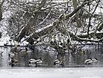 Mallards in ice, Anas platyrhynchos
