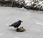 Carrion Crow looking for food on ice, Corvus corone