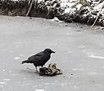 Rabenkrähe bei Futtersuche auf Eis, Corvus corone