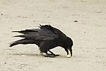 Carrion Crow gathers food, Corvus corone