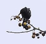 Blackbird in wild Apple Tree, Turdus merula