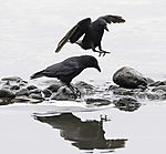 Carrion Crows at lake Alster, Corvus corone