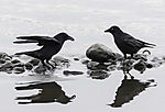 Carrion Crows at lake Alster looking for food, Corvus corone