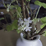 blossoms of Wild Currant in vase, Ribes alpinum