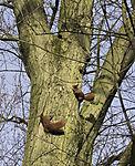 Eichhörnchen jagen sich, Sciurus vulgaris
