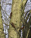 Red Squirrels chasing each other, Sciurus vulgaris
