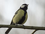 singende Kohlmeise, Parus major