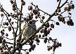 Rotdressel in wildem Apfelbaum, Turdus iliacus