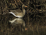 Greyla Goose reflection, Anser anser