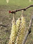 flowering Hazel bush; Corylus avellana