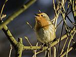 singendes Rotkehlchen in der Morgensonne, Erithacus rubecula