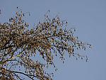 Alder tree in winter, Alnus sp.