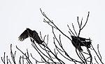 Rabenkrähen im Wind, Corvus corone