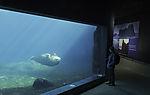 Walrus in arctic sea aquarium with visitor, Odobenus rosmarus