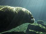 Walrus in arctic sea aquarium, Odobenus rosmarus