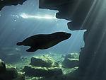 South American Fur Seal in arctic sea aquarium, Arctocephalus australis