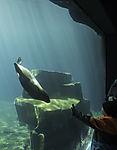 South American Fur Seal in arctic sea aquariumand child, Arctocephalus australis