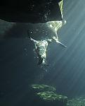 South American Fur Seal nudges Walrus, Arctocephalus australis, Odobenus rosmarus