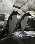 Gentoo Penguins in arctic sea aquarium, Pygoscelis papua