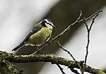 Blaumeise; Parus caerulus