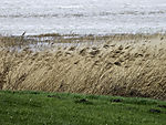 Reed at dike, Phargmites sp.