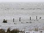 waterfowl at high tide