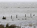 Wasservögel bei Hochwasser