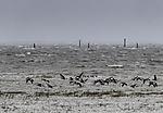 Brent Geese over stormy tidal sea, Branta bernicla