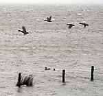 Mallards over stormy tidal sea, Anas platyrhynchos