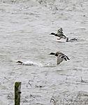 Mallards landing on stormy tidal sea, Anas platyrhynchos
