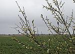 flowering Willow, Salix sp.