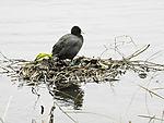 Bald Coot on swimming nest, Fulica atra