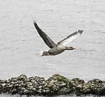 Greylag Goose in flight, Anser anser