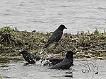 Carrion Crows bathing, Corvus corone