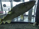 Cod in aquarium, Gadus morhua
