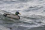 Stockenten Erpel auf Welle, Anas platyrhynchos