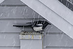 Magpie in snowfall, Pica pica
