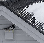 Magpies on house roof, Pica pica