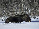 Moose resting in snow, Alces alces