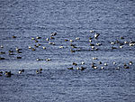 swarm Eider Ducks, Somateria mollissima