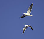 Great Black-backed Gulls in flight, Larus marinus