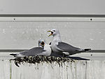 Kittiwakes on nest, Rissa tridactyla