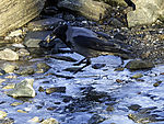 Carrion Crow with Snail, Corvus corone