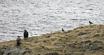 White-tailed Eagles and Carrion Crows at Toppsundet, Haliaeetus alibicilla, Corvus corone